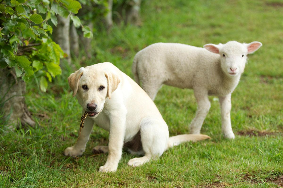 Dog and lamb