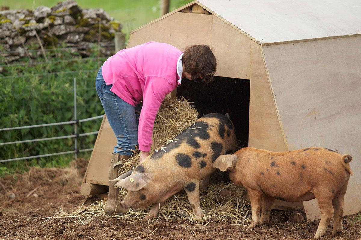 Oxford Sandy Black pigs Feeding