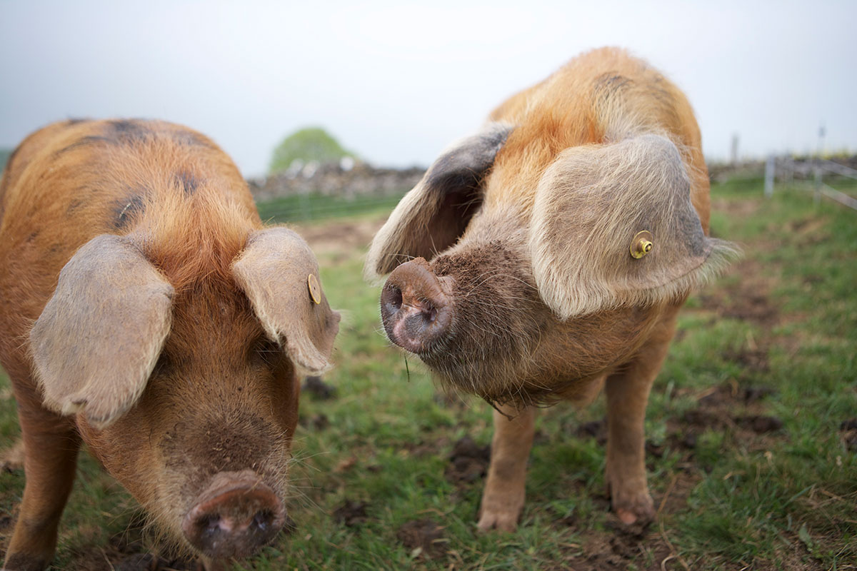 Plum pudding pigs
